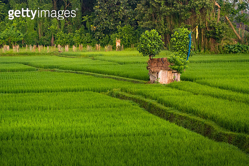 Balinese Rice Field in the Center of Ubud, Bali, Indonesia. - gettyimageskorea