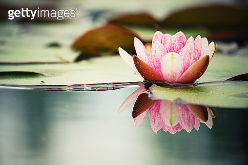 Pink water lily (nenuphar) being reflected on clear water. - gettyimageskorea