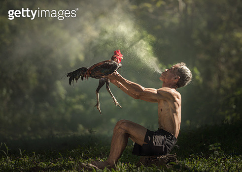 Man cleaning rooster before cock fight, Thailand - gettyimageskorea