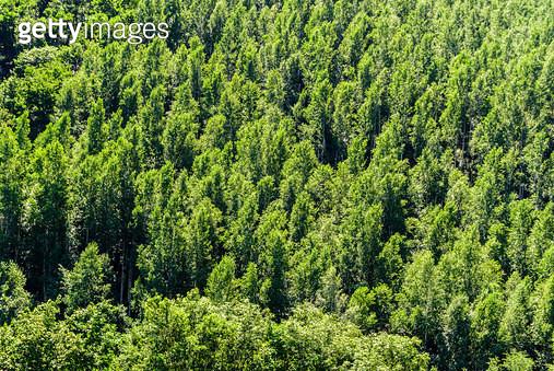 자작나무, 강원도 태백시 황지동 - gettyimageskorea