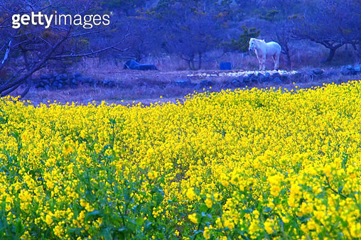 Landscape of rape blossoms - gettyimageskorea