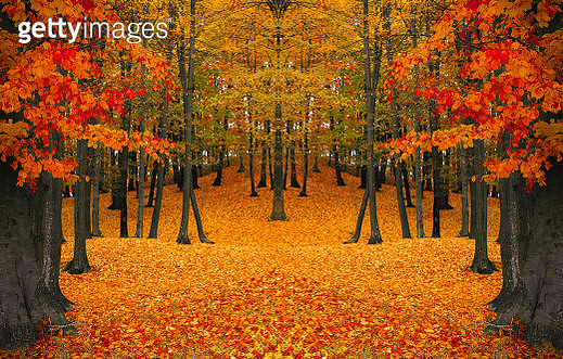 View Of Maple Trees During Autumn - gettyimageskorea