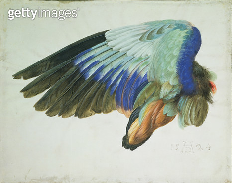 <b>Title</b> : The Right Wing of a Blue Roller (Coracia garrulus) copy of an original by Albrecht Durer of 1512, 1524 (w/c on paper) (see 70453<br><b>Medium</b> : <br><b>Location</b> : Private Collection<br> - gettyimageskorea