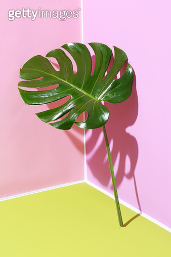 Monstera leaf leaning on pink and green graphic background - gettyimageskorea