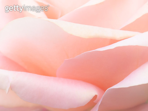 An Extreme Close up of Hazy Soft Pink Petals of a Rose - gettyimageskorea