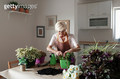 Senior Woman Caring for House Plant. Woman Taking Care of Plants at Her Home. Lovely Senior Housewife With Flower in Pot and Gardening Set Indoors. Portrait of Elderly Woman Gardening at Home. Retired Female Care for Her Plants. - gettyimageskorea