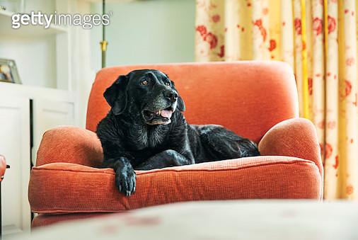 Senior black labrador relaxing on armchair - gettyimageskorea