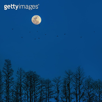 A spooky scene of bats flying underneath a full moon above a forest. - gettyimageskorea