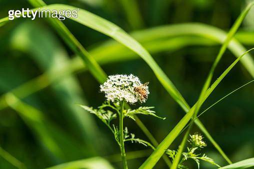 당근 꽃 - gettyimageskorea
