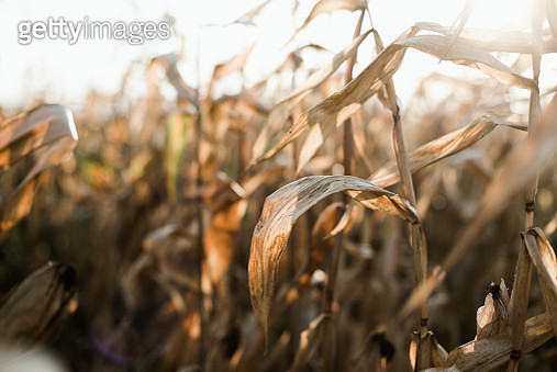 Dried corn stalks in a field at the end of a summer - gettyimageskorea