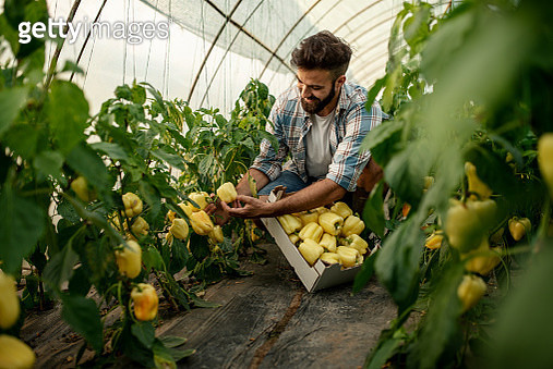 Young happy man picking fresh bell peppers in a greenhouse - gettyimageskorea