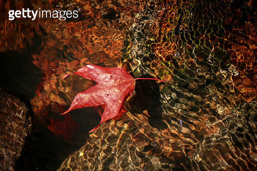 High Angle View Of Dry Maple Leaves - gettyimageskorea
