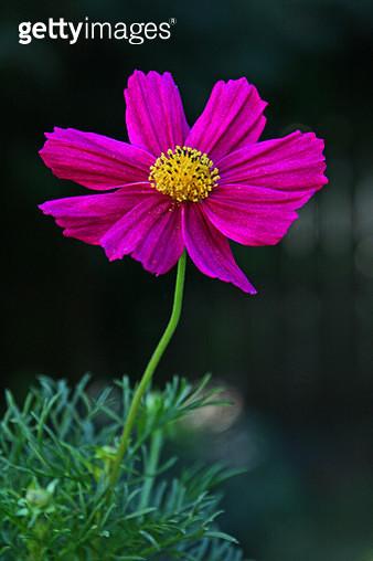 Close-Up Of Pink Flower - gettyimageskorea