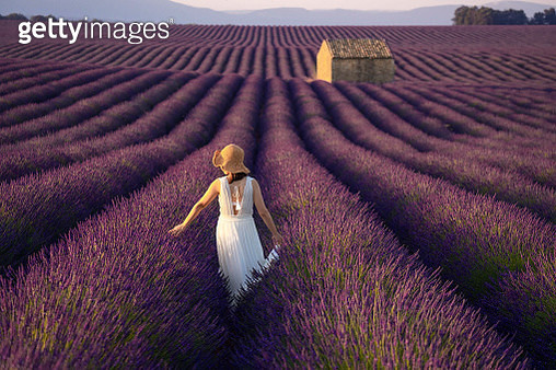 Woman in lavender flowers field at sunset in white dress walking in lavender field with balloon in sky in background in Valensole , Provence, France. - gettyimageskorea