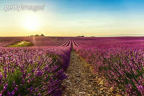 Meadow Of Lavender In a Sunny Summer Day, France - gettyimageskorea