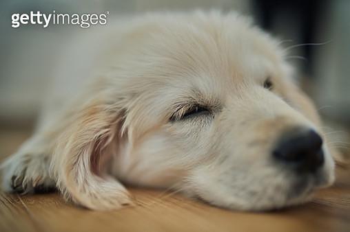 Sleeping dog at home. Head of golden retriever dog. - gettyimageskorea