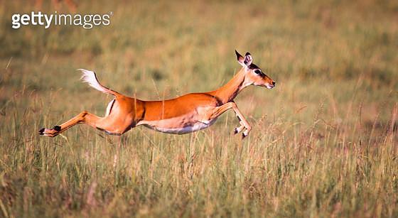 Sprinting Impala - gettyimageskorea