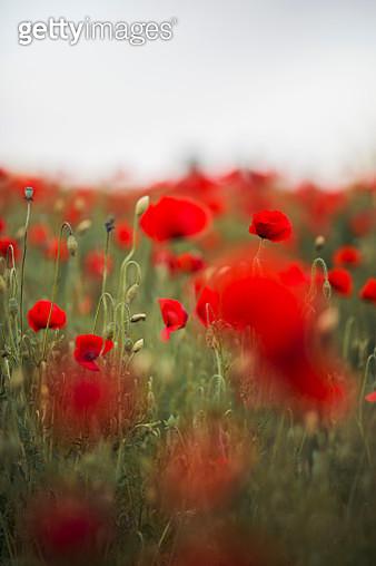 Poppy field - gettyimageskorea