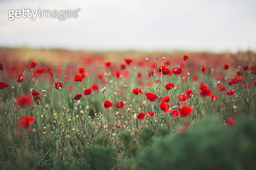 Poppies - gettyimageskorea