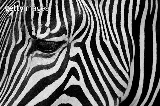 Close up of a zebra's eye and striped coat - gettyimageskorea