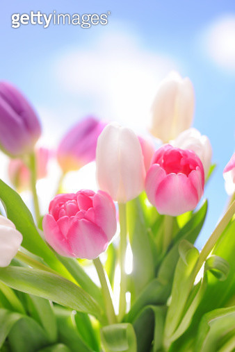 Colorful tulips - gettyimageskorea