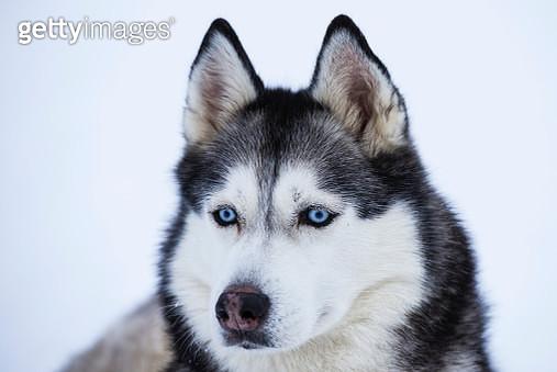 Sibirian Husky - gettyimageskorea