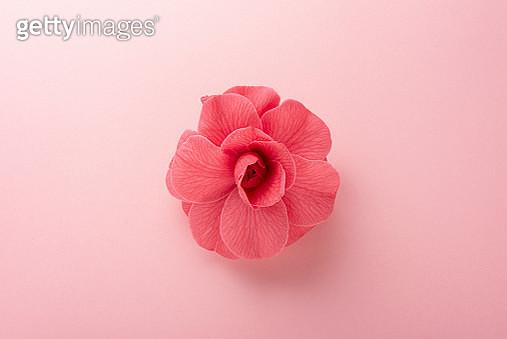 Pink camellia bloom on a pink background.Studio shot - gettyimageskorea