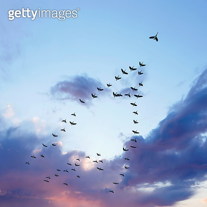 flock of migrating canada geese flying at sunset, square frame (XL) - gettyimageskorea