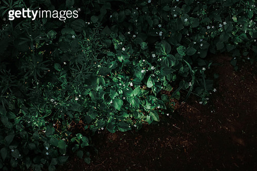 High Angle View Of Ivy Growing On Field - gettyimageskorea