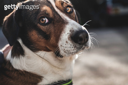 Sad Faced Dog with Big Brown Eyes - gettyimageskorea