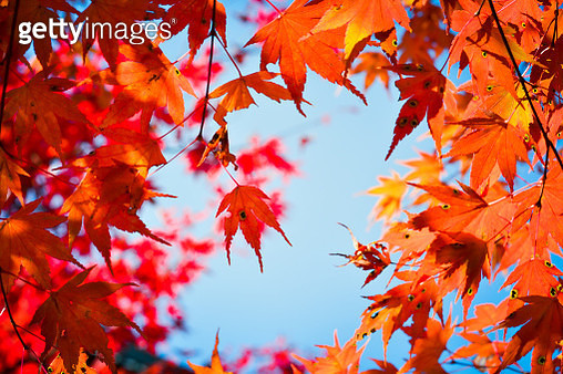 Low Angle View Of Maple Leaves On Tree - gettyimageskorea