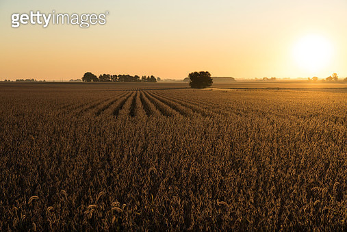 It is soon to be harvest time of these fields of soybeans. Taken from above with a drone - gettyimageskorea