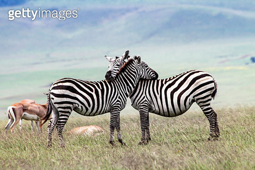 Two zebras in love and some Thomsons gazelle or Gazella thomsonii in the back, this is in Ngorongoro conservation area, Tanzania, Africa.   Zebra are grazers and is constantly moving from areas and they look for fresh grass, they are important for the eco - gettyimageskorea