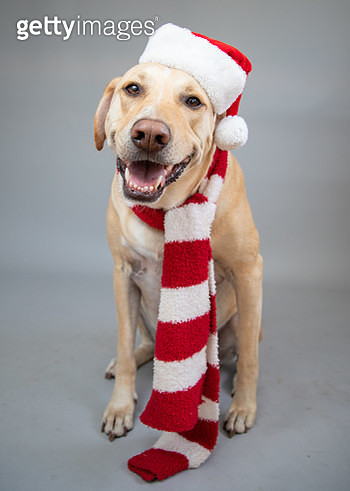 Portrait of a labrador wearing a Santa hat and scarf - gettyimageskorea