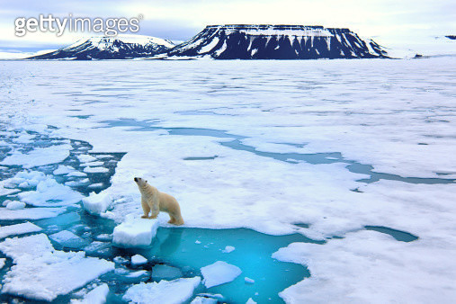 Polar bear on pack ice - gettyimageskorea
