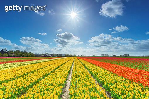 Tulip field in the dutch countryside, South Holland, the Netherlands - gettyimageskorea