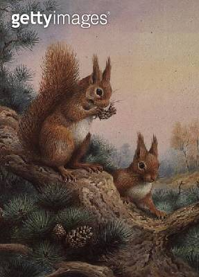 <b>Title</b> : Pair of Red Squirrels on a Scottish Pine<br><b>Medium</b> : watercolour<br><b>Location</b> : Private Collection<br> - gettyimageskorea