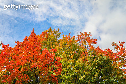 Fall foliage exhibiting a stunning array of bright colours in Montreal, Quebec. The orange, yellow and green hues jump out against the bright blue autumn sky. The leaves of this old and giant maple hang overhead giving a unique perspective of this seasona - gettyimageskorea