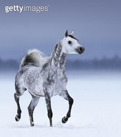 Arabian horse Maurice Begart - gettyimageskorea