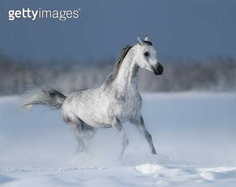 Arabian stallion Maurice Begart Tersk - gettyimageskorea