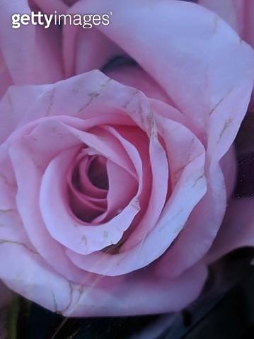 Colorful Rose Flower - gettyimageskorea