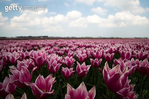 Close-Up Of Pink Flowering Plants On Field Against Sky - gettyimageskorea