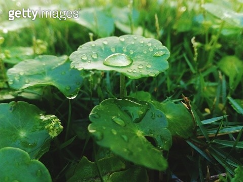 Close-Up Of Wet Plant Leaves During Rainy Season - gettyimageskorea
