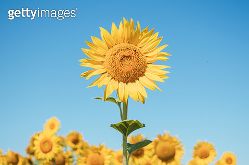 Close-Up Of Sunflower Against Clear Blue Sky - gettyimageskorea