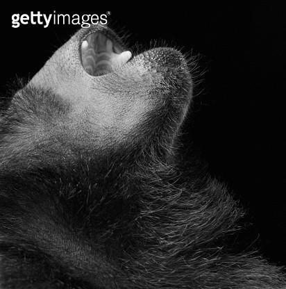 Black Macaque (Macaca nigra), mouth open, close-up (B&W) - gettyimageskorea