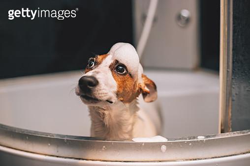Jack russell terrier dog having a bath - gettyimageskorea
