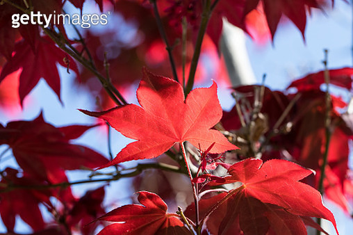 Close-Up Of Maple Leaves On Tree - gettyimageskorea