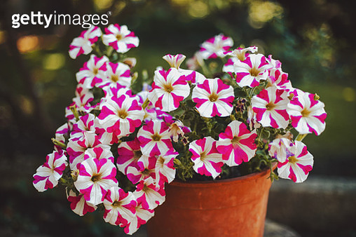 Full frame of pink and white flowers growing in garden,Closeup. - gettyimageskorea