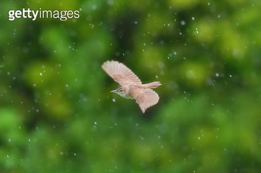 비오는 날 개개비의 비행 - gettyimageskorea
