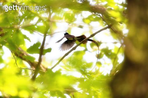 긴꼬리딱새의 아름다운 비행 - gettyimageskorea